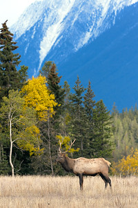 Elk Bull in a Meadow of the Canadian Rockies