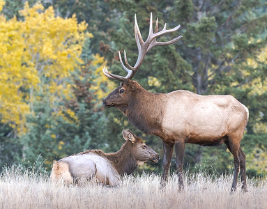 Elk Bull and Cow Near Jasper Alberta
