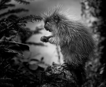 Young Porcupine (Porcupette)