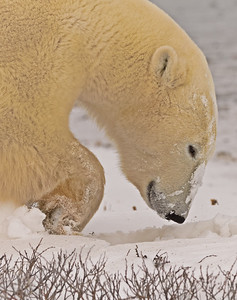 Polar Bear Digging for Food