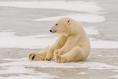 Polar Bear Sitting on Ice in Churchill