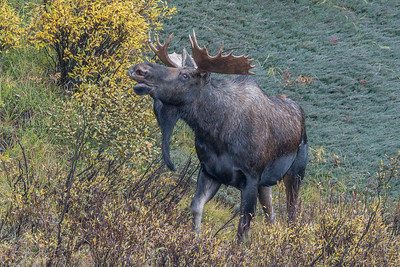 Bull Moose Near Maligne Lake, Alberta