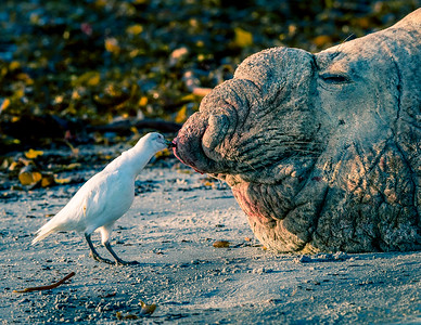 Snowy Sheathbill Cleans a Wound on Elephant Seal Bull