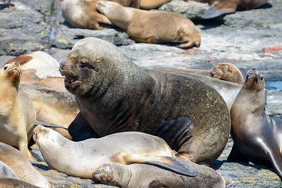 Southern Sea Lion Bull with Harem