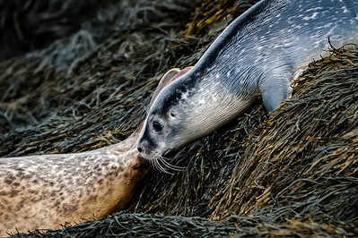 Harbor Seal Slides into Water Behind Mother