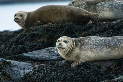 Harbor Seals Watch from a Haul Out in Maine