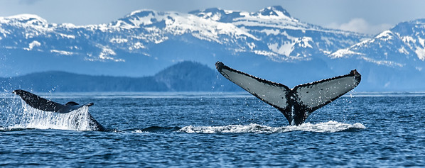 A Pair of Humpback Whales in the Inside Passage of Alaska