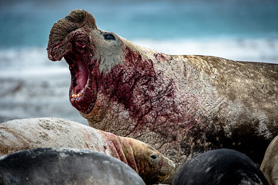 Bull Elephant Seal Roars