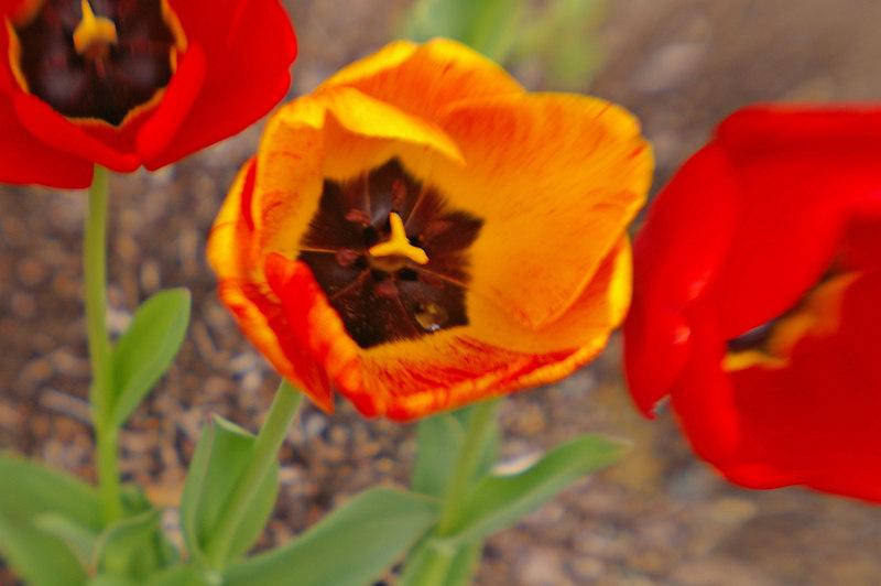 Tulip and Water drop - Lensbabie shot