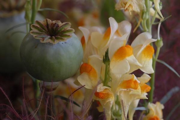 Poppy Flower Seed Pod & Nemesia - Atlanta Botanical Garden  ©Gerald Diamond All rights reserved