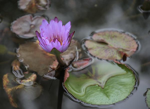 Lily, Gibbs Gardens, Georgia