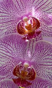 Two Angels In Flight - Orchid, Atlanta Botanical Garden  ©Gerald Diamond All rights reserved