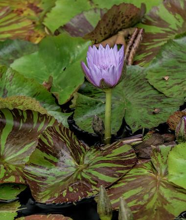 Lily & Pads, Gibbs Gardens, Georgia