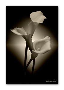Calla Lilies #2 - Atlanta 2010  ©Gerald Diamond All Rights Reserved