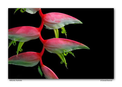 Heliconia, Australia  ©Gerald Diamond All Rights Reserved