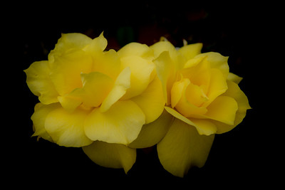 Mt Gambier Roses, Australia 2014  ©Gerald Diamond All rights reserved