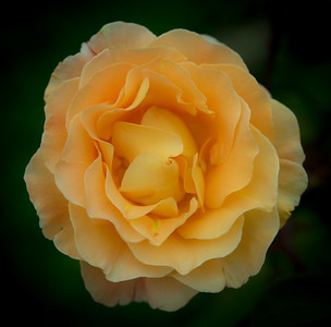 Mt Gambier Rose, Australia 2014  ©Gerald Diamond All rights reserved