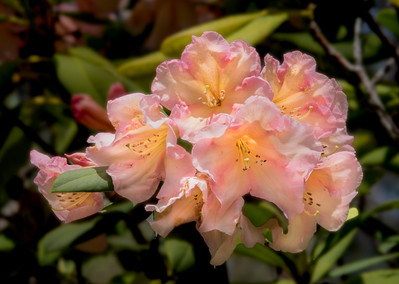 Rhododendron, Blackheath, Blue Mountains, Australia 2014   ©Gerald Diamond All rights reserved