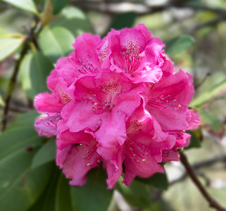 Pink Rhododendron, Blackheath, Blue Mountains, Australia 2014   ©Gerald Diamond All rights reserved