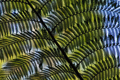 Fern Leaves - Queensland, Australia  ©Gerald Diamond All rights reserved