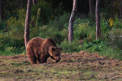 Ursus Arctos Arctos — Eurasian Brown Bear — Európai barna medve