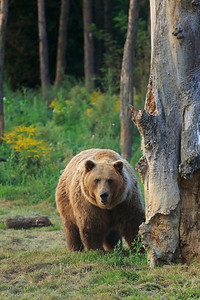 Ursus Arctos Horribilis — Grizzly Bear — Grizzly medve