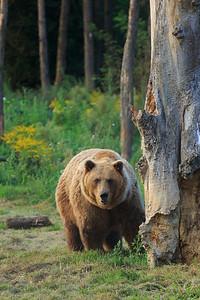 Ursus Arctos Horribilis — Grizzly Bear — Grizzly medve