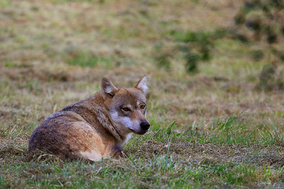 Canis Lupus Lupus - European Grey Wolf - Farkas