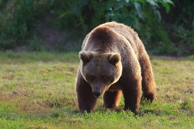 Here Comes Da Boss! — Itt jön a nagyfőnök! (Ursus Arctos Arctos — Eurasian Brown Bear — Barna medve)