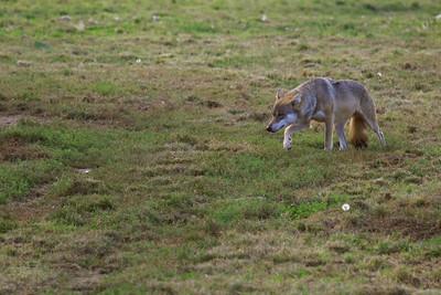 Canis Lupus Lupus — European Grey Wolf - Farkas