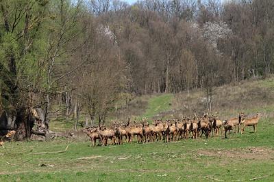 Deer at Bőszénfa — Szarvasok Bőszénfán