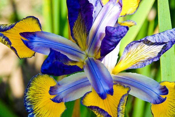 Iris - Royal Botanical Gardens, Burlington, Ontario, Canada