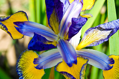 Iris - Royal Botanical Gardens, Burlington, Ontario, Canada