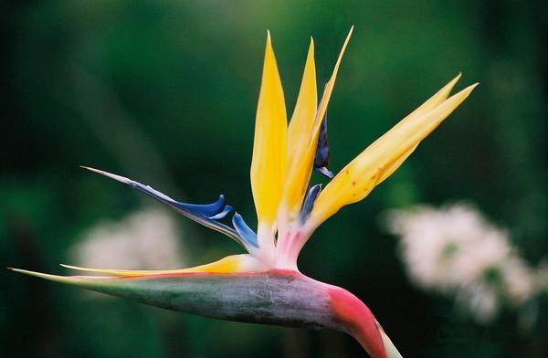 Bird of Paradise - Kirstenbosch Gardens, Cape Town, South Africa