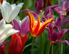 Keukenhof Gardens, Holland<br /> <br /> ©Gerald Diamond<br /> All rights reserved