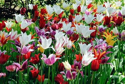 Tulips, Keukenhof Gardens, Holland
