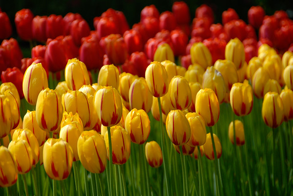 For only three months in the Spring of each year, Keukenhof Gardens, is a spectacular showcase for tulips, daffodils and many other flowers.