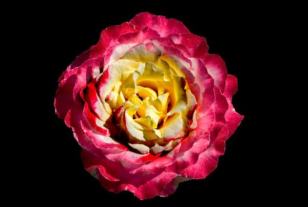 Hybrid Tea Rose - Niagara Botanical Gardens