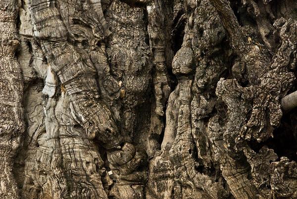 Garden Of Gethsemane 2,000 Year Old Gnarled Oak, Jerusalem