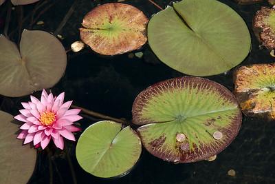 Lotus blossom - Van Dusen Gardens, Vancouver, BC, Canada