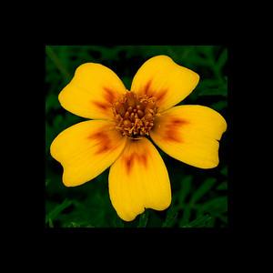 Signet Marigold – (Tagetes signata) - Niagara Botanical Gardens.