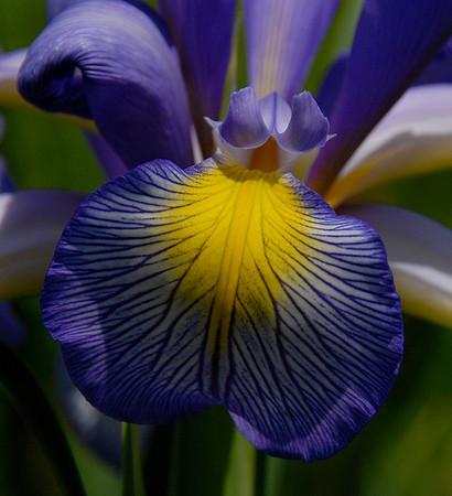 Iris - Burlington, Ontario, Canada