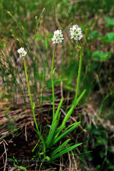 30.Tofieldia glutinosa 2011.7.9#049. The Sticky False Asphodel. Turnagain Pass, Kenai Peninsula Alaska.