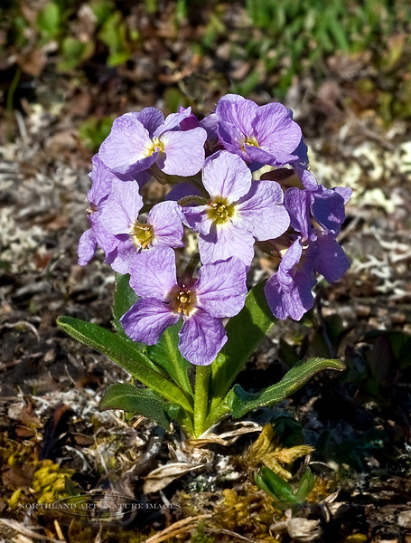 49.Parrya nudicaulis 2008.6.14#117. Parry's Wallflower vary's in color from white to deep blueish violet. Usually occurring on moist tundra and alpine slopes. Mile 13, Denali Highway Alaska.