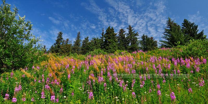 62.Fireweed and Goatsbeard 2009.7.14#0400. Fill a mountain meadow. Turnagain Arm  Alaska.