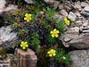 53.Potentilla biflora 2014.7.9#310. The Two-flowered Cinquefoil. Mount Healy's north east side, Alaska Range, Alaska.