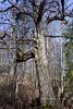 35.Betula, neoalaskana/kenaica 2016.4.3#005. The Kenai Black Birch/Paper Birch. Kinkaid Park, Anchorage Alaska.