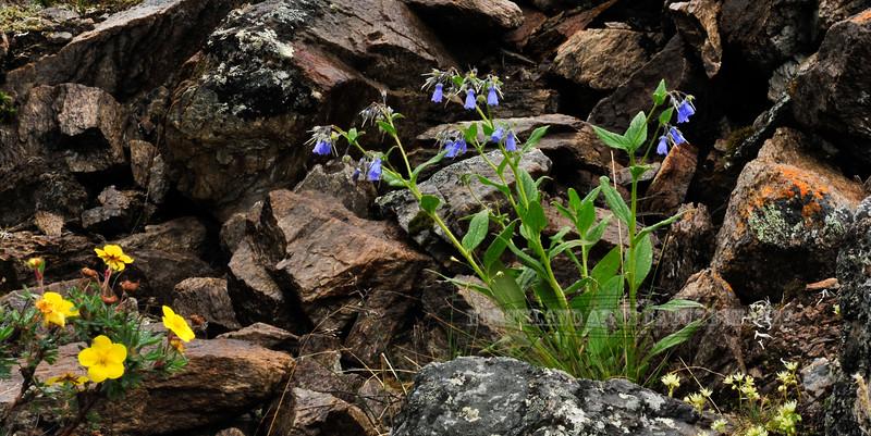 77.Mertensia paniculata 2010.6.29#040. Some call it Bluebells or Chiming bells. Mount Healy's northeast side, Alaska Range, Alaska.