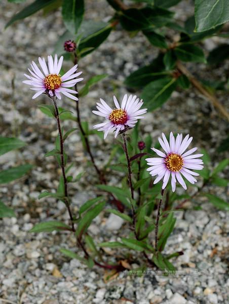 89.Aster sibiricus 2005.7.3#0134. Castner Creek, Eastern Alaska Range, Alaska.