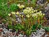 52.Saxifraga bronchialis 2013.7.16#139. The yellow Spotted Saxifrage. Thompson Pass, Richardson Highway Alaska.